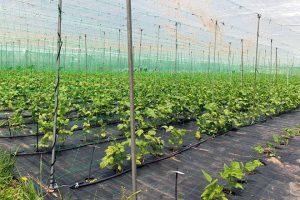 Semente base de Faba Galaica cultivada nas instalacións da Misión Biolóxica de Galicia