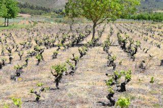 Estratexias de adaptación fronte ó cambio climático na vitivinicultura
