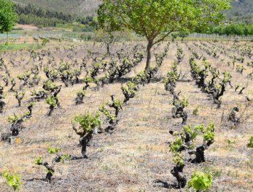 Estrategias de adaptación frente al cambio climático en la vitivinicultura