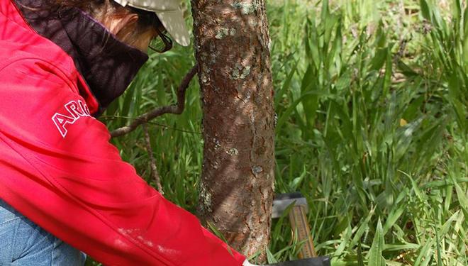 A seca condiciona a resistencia dos piñeiros fronte ó gurgullo