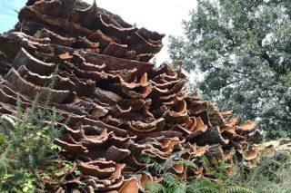 A cortiza das sobreiras, un recurso descoñecido do monte galego