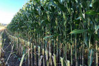 Así cortan el maíz en una de las ganaderías con mejor silo de Galicia