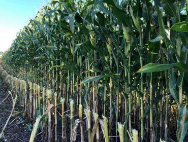 Así cortan o millo nunha das ganderías con mellor silo de Galicia