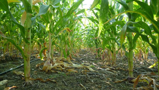 Maiz-siembra-directa-agricultura-conservacion-finca-Universidad-de-Cordoba