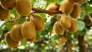 Plantacion-Kiwi-Tomino-froito-
