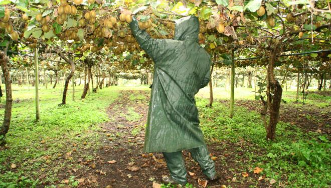 Plantacion-kiwi-trabajadores-