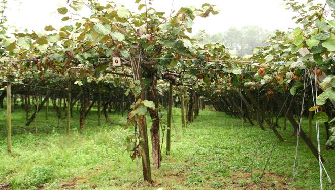 Plantacion-kiwi-vista-xeral-