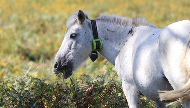 Uno de los animales con los collares de localización que probaron en el proyecto. // Foto: Laura Lagos.