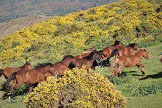 O rexurdimento do cabalo galego como xestor do monte