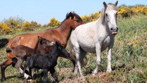 Proxecto-GOI_-Manada-Cabalos-bravos-_-Laura-Lagos-