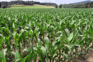 Botan 13 hectáreas de millo, que abonan co purín procedente da granxa de porcos