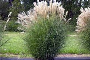 O miscanthus é unha herbácea con rendimentos por hectárea que triplican os do millo