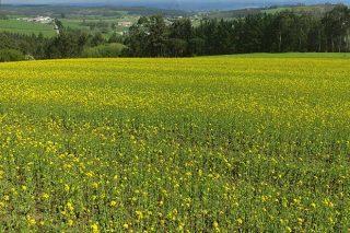 Abonos verdes, unha solución para reducir o uso de herbicidas nas terras
