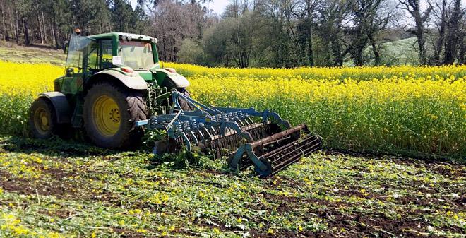 SAT Castro Buxía leva tres anos botando nabos en máis de 30 hectáreas de terreo unha vez sacada a colleita de millo