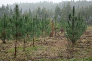 Tres factores para o éxito dunha plantación de piñeiro