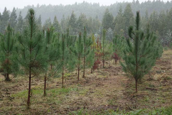 Tres factores para el éxito de una plantación de pino