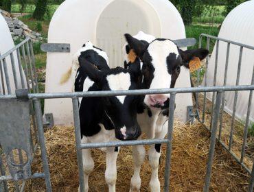 Eliter, una herramienta para dar valor a los terneros de las explotaciones de leche