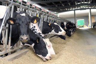 Como afectan os aminoácidos á produción de leite?
