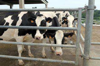 O prezo do leite toca fondo en agosto, á espera da posible recuperación do outono