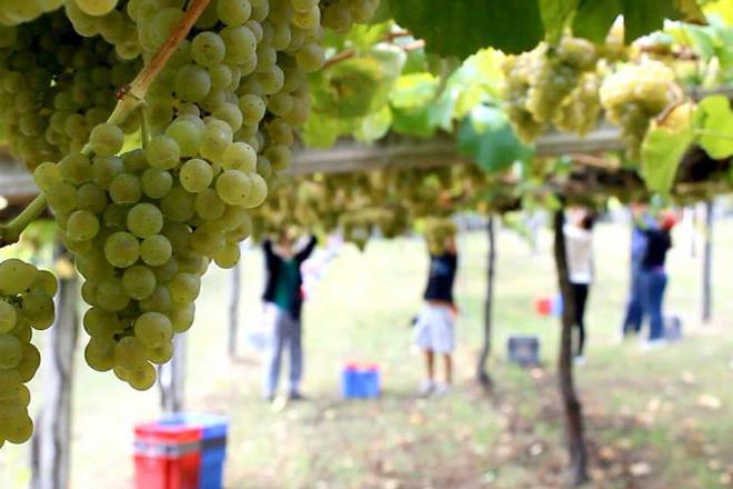 Gran colleita de uva en toda Galicia, agás en Rías Baixas