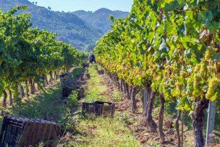 Record de colleita na D.O. Monterrei, con 5,7 millóns de quilos de uva