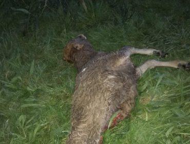Un gandeiro do Barbanza suma 26 baixas polo lobo este ano