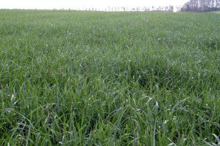 Os abonos Entec®, unha ferramenta para aumentar a eficiencia da fertilización