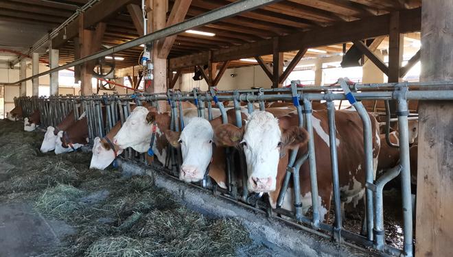 Ganderia-Fischer-Estiria-Austria-Vacas-Fleckvieh-