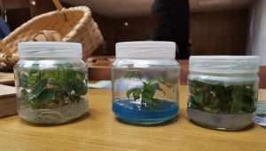 Plantas-de-cerdeira-obtidas-en-cultivo-in-vitro-no-CIF-Lourizan-