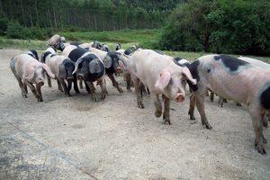 Ceba os porcos até que teñen entre 120 e 140 quilos