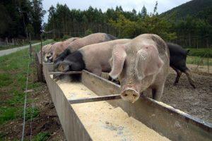 Os animais son alimentados con fariña de millo e de cebada, penso e remolacha azucareira