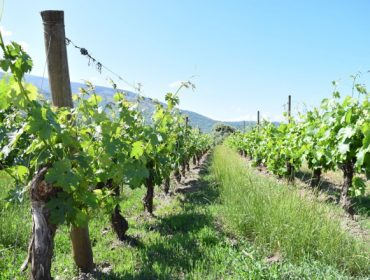 ¿Como detectar as carencias de abonado no viñedo?