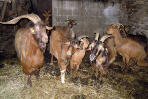 Hai un ano que se fixo cos primeiros exemplares de cabra galega