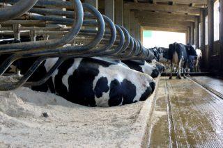 Tipos de camas para vacas de leite: análise comparativa