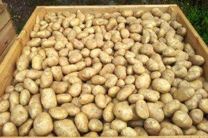 Este ano recolleron máis de 500 toneladas de pataca kenebec