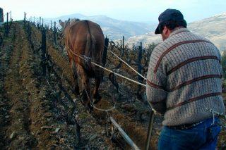 Demostración sobre el empleo de tracción animal en la viticultura