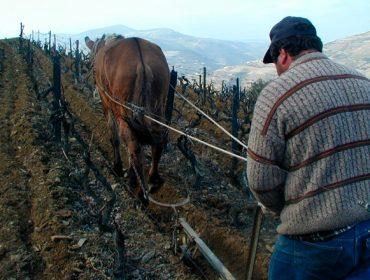 Demostración sobre o emprego de tracción animal na viticultura