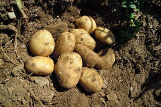 Jornadas técnicas de la patata en Coristanco