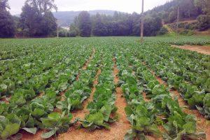Plantación de repolos en Riotorto