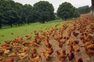 En 2019 aumentou un 150% a avicultura de carne en ecolóxico e un 60% en porcino