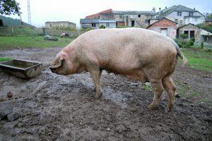 Unha das catro porcas que ten Adrián
