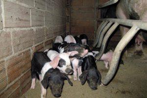 Os intercambios de animais entre produtores son habituais