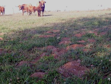 Unha praga de ratas afecta a máis de 2.000 hectáreas de pradeiras na montaña de Lugo
