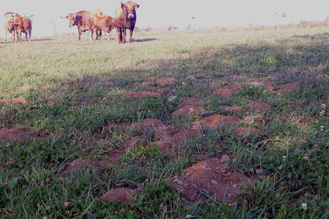 Una plaga de ratas afecta a más de 2.000 hectáreas de praderas en la montaña de Lugo