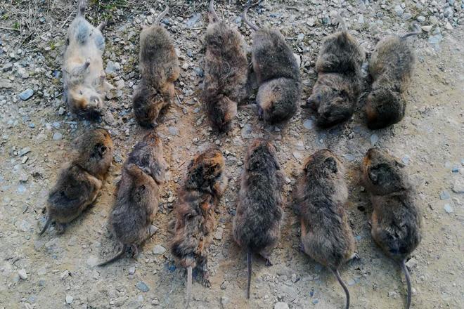 Imaxe dalgunhas dónes rates capturades per un gandeiro dóna muntanya de Lugo