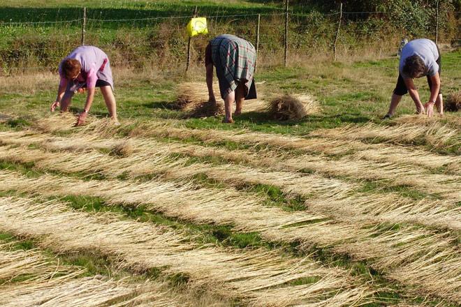 Dous cultivos con potencial en Galicia, o cáñamo e a volta do liño