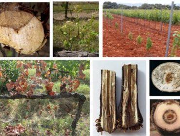 Hacer podas tempranas, una estrategia para prevenir las enfermedades de la madera del viñedo