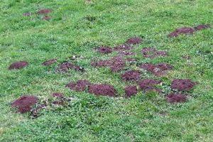 Danos provocados en pradeiras de Triacastela pola arvícola terrestris