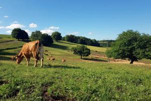 As vacas da explotación familiar están en extensivo e en ecolóxico
