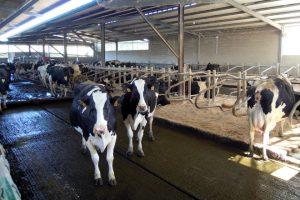 Dispoñen neste momento de 125 vacas en produción